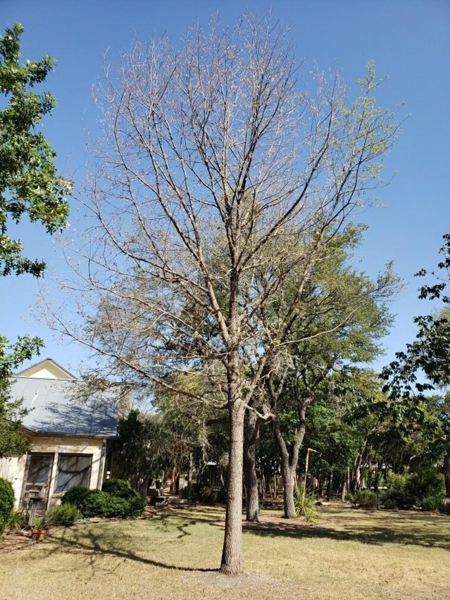 Mexican White Oak Image