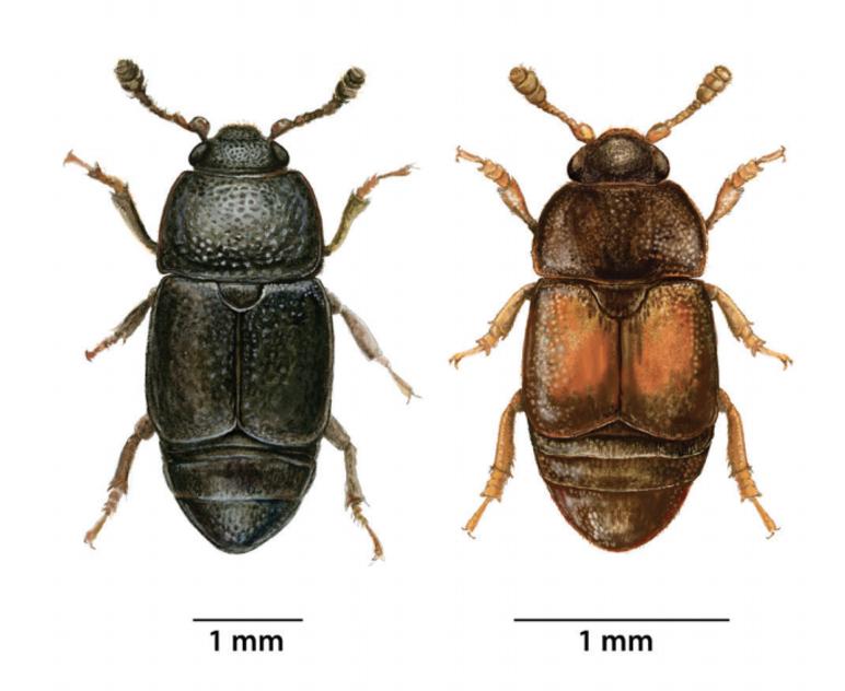 Oak Wilt Beetle