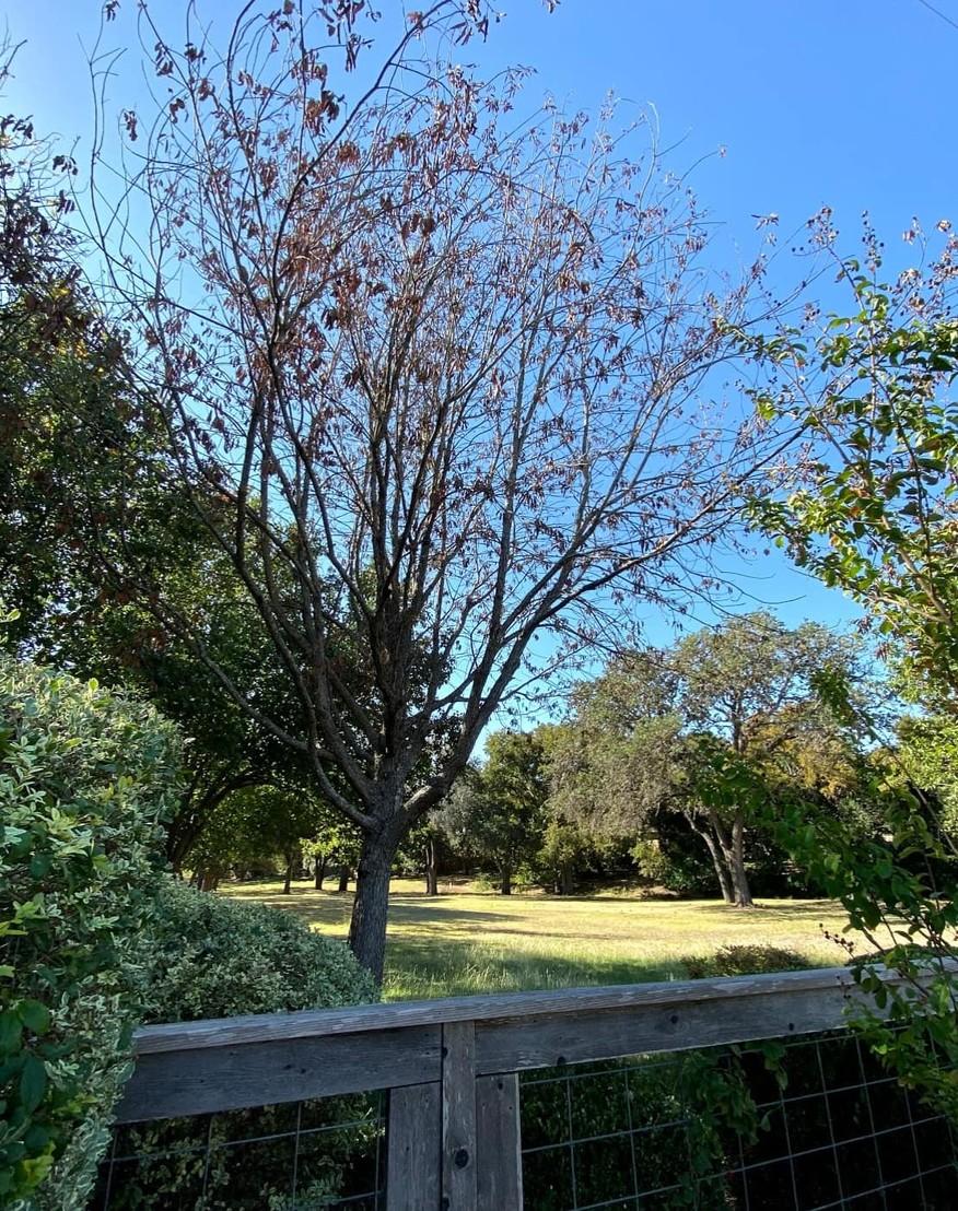 Mexican White Oak With Oak Wilt