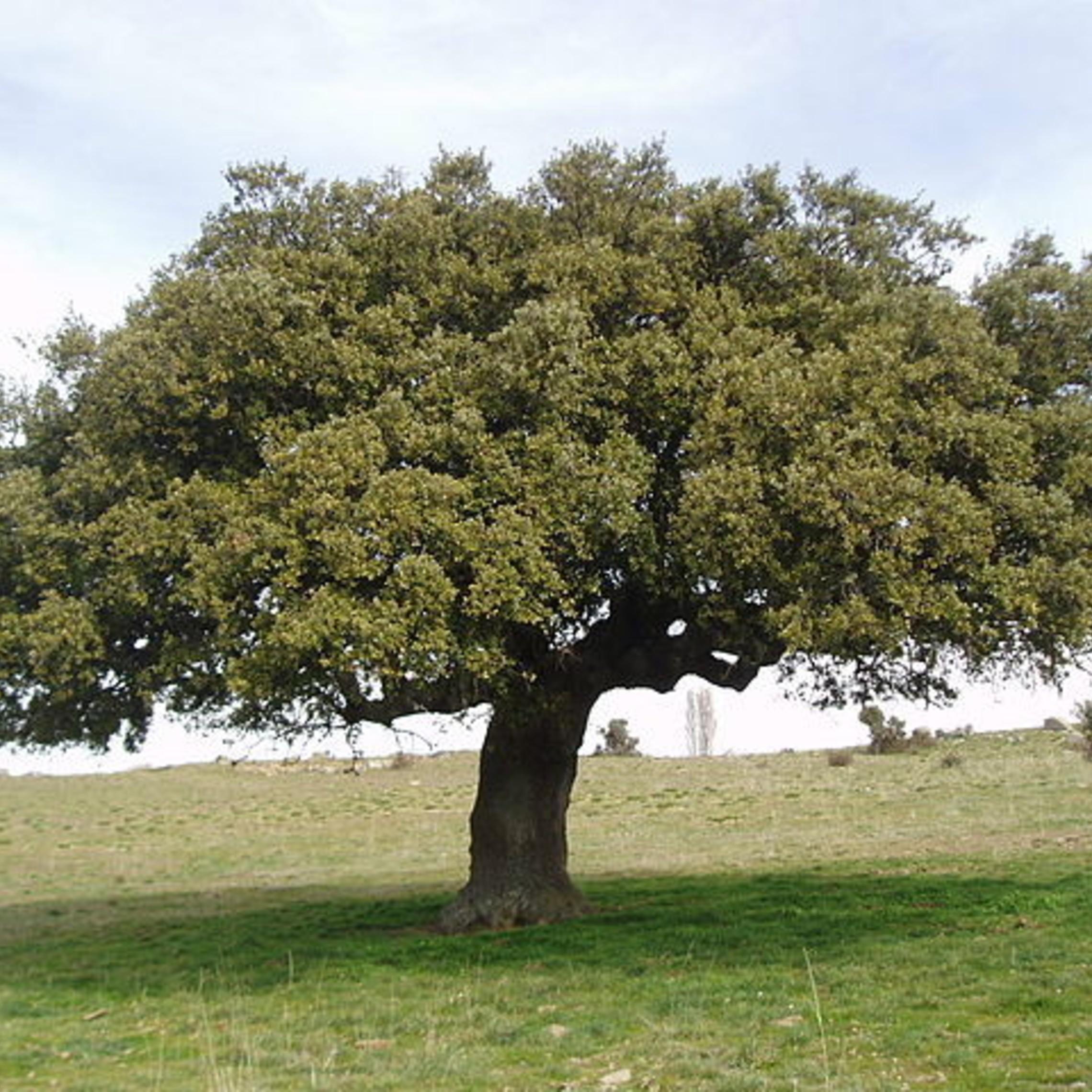 640px Quercus Ilex