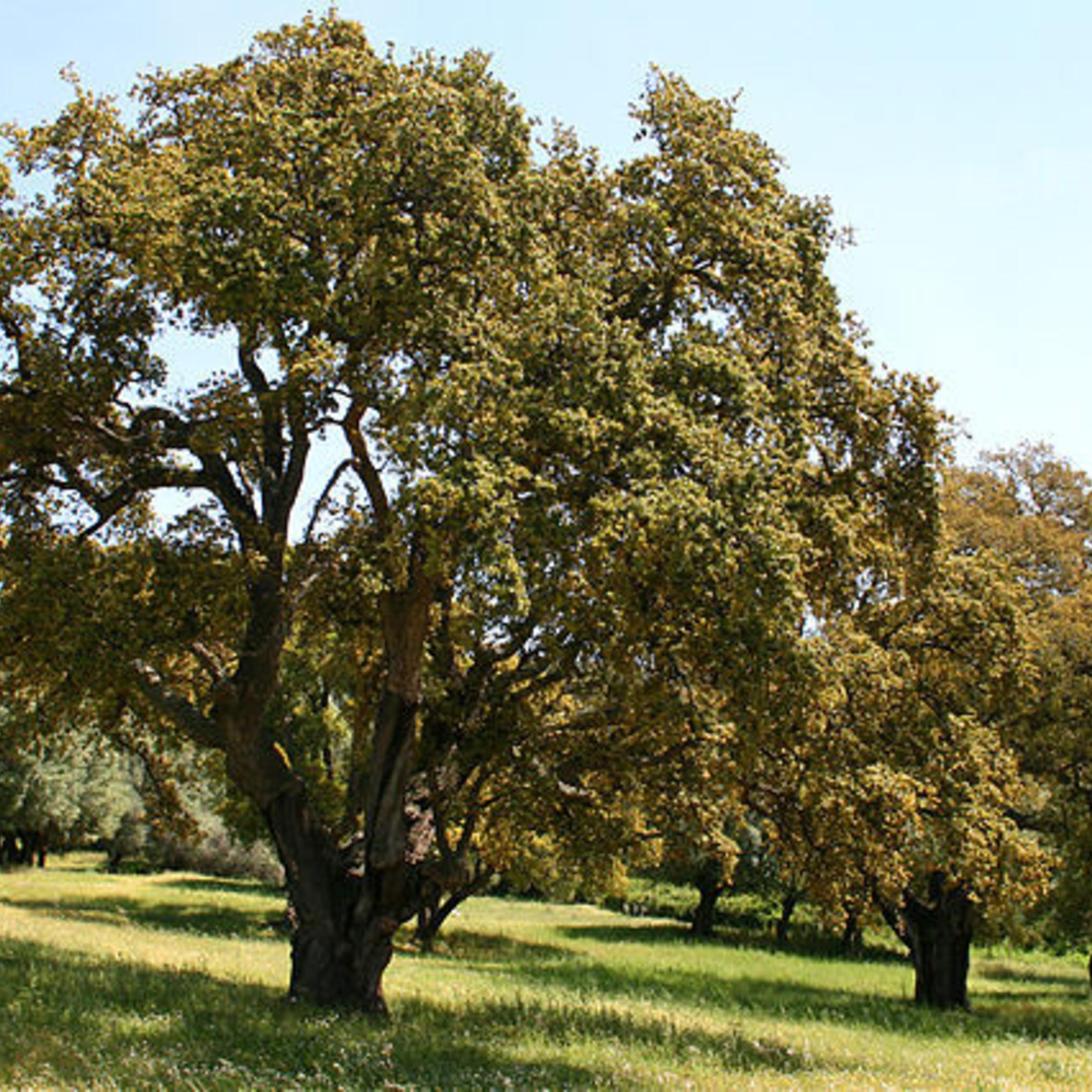 640px Quercus Suber Jpg1