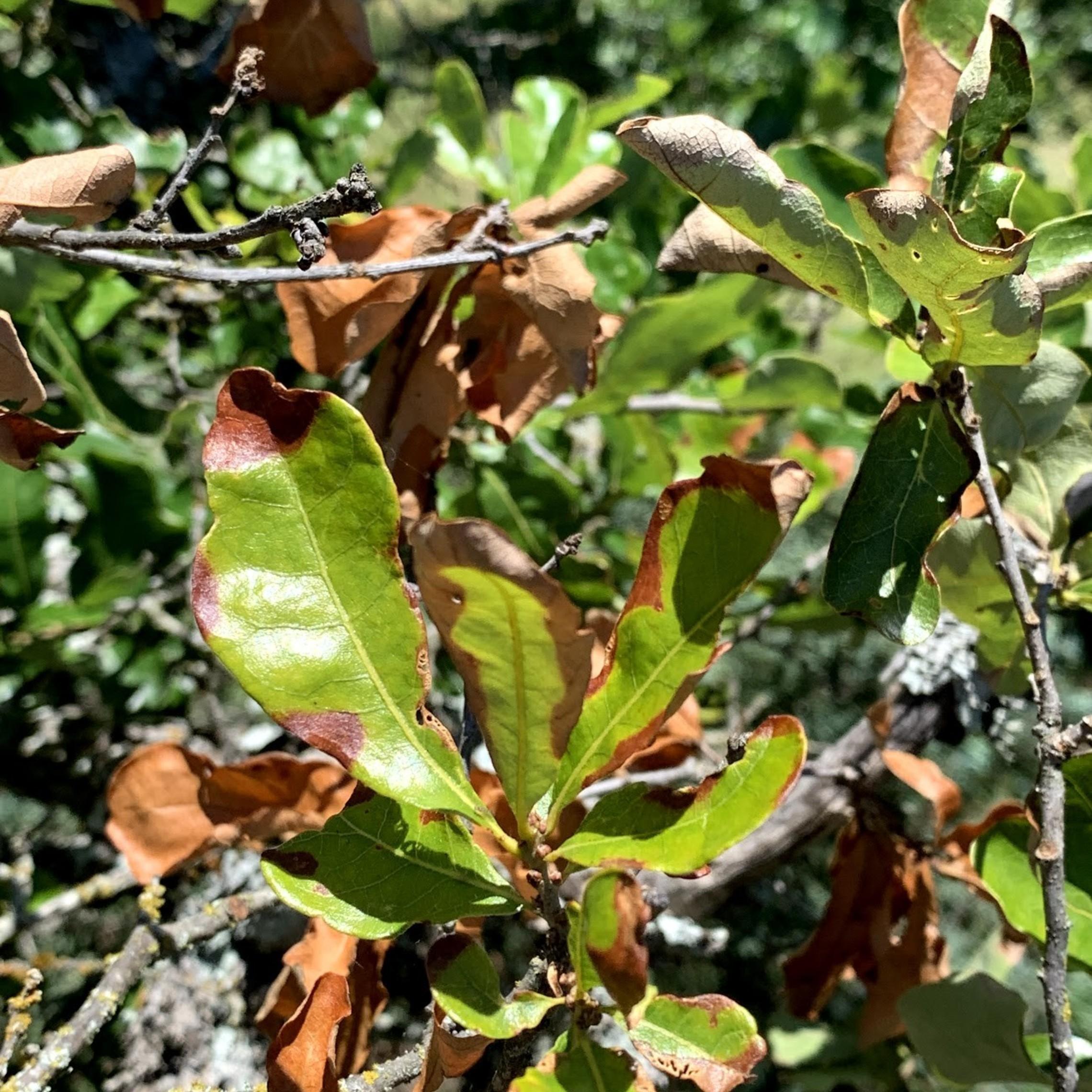 Oak Wilt Picture bigelow oak 19