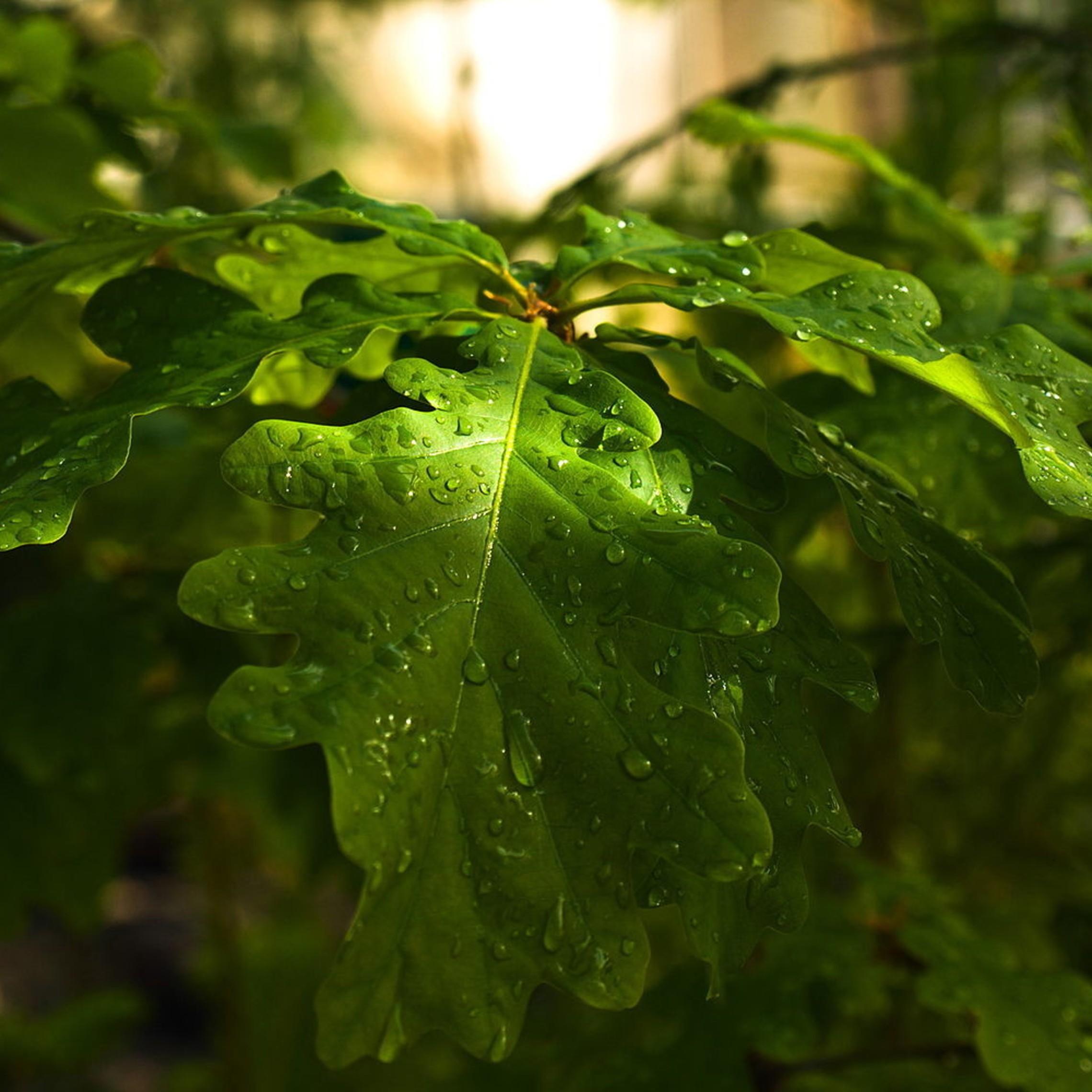Downy Oak Image
