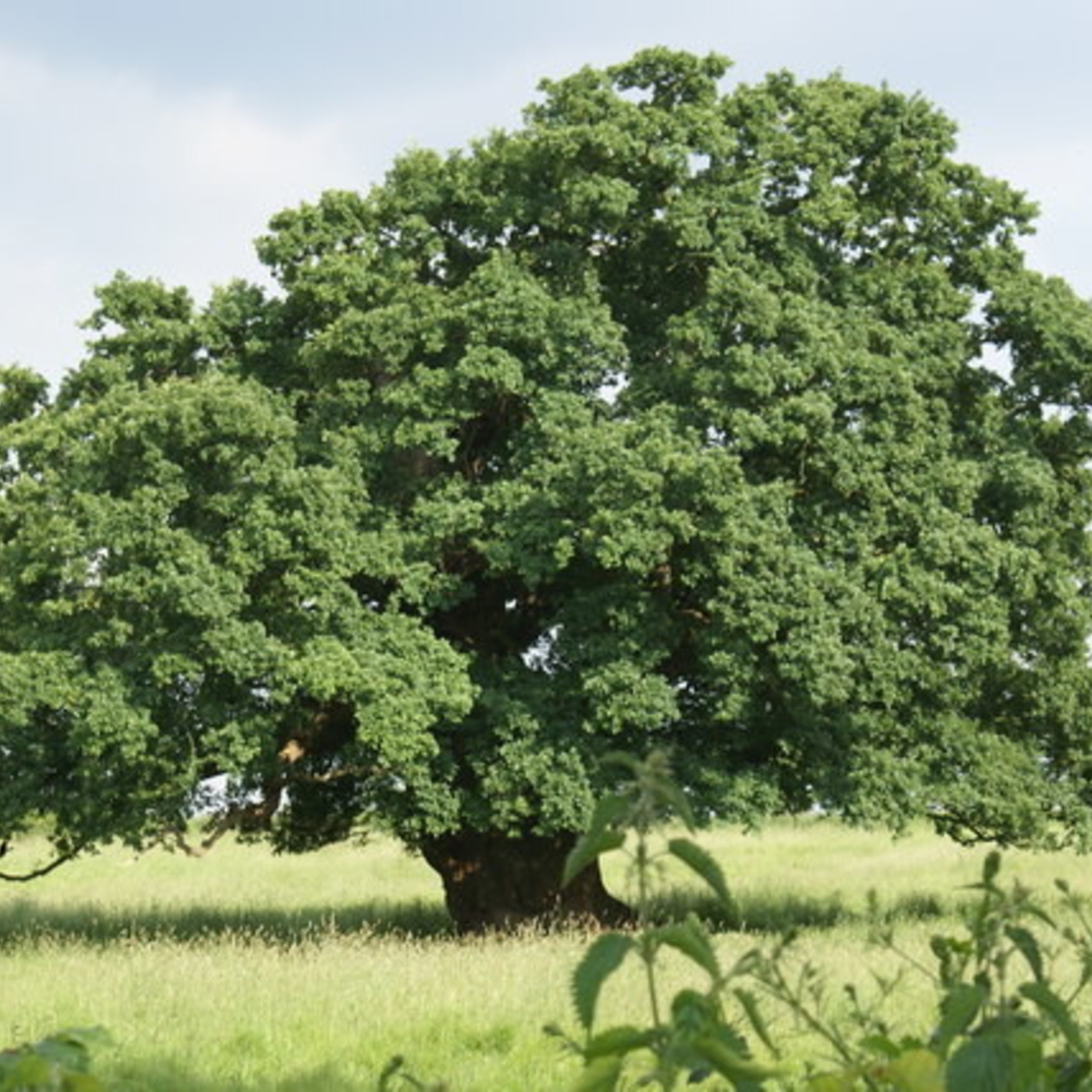 English oak Image