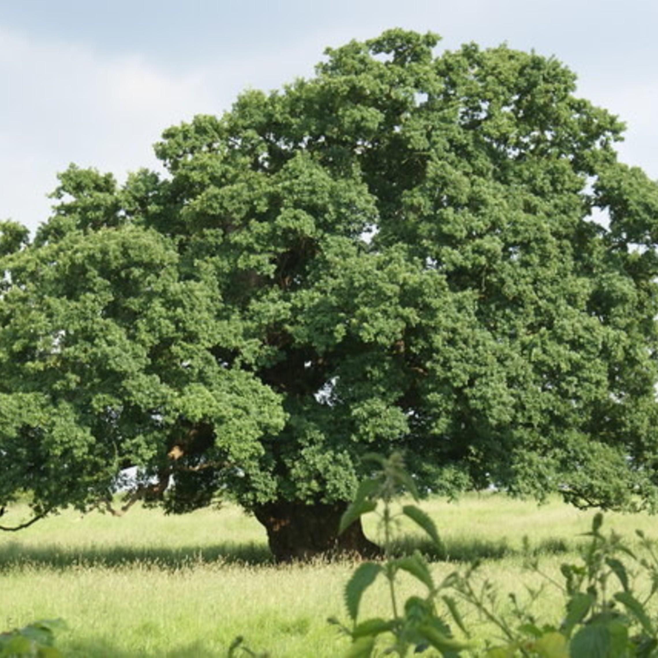 English oak Image