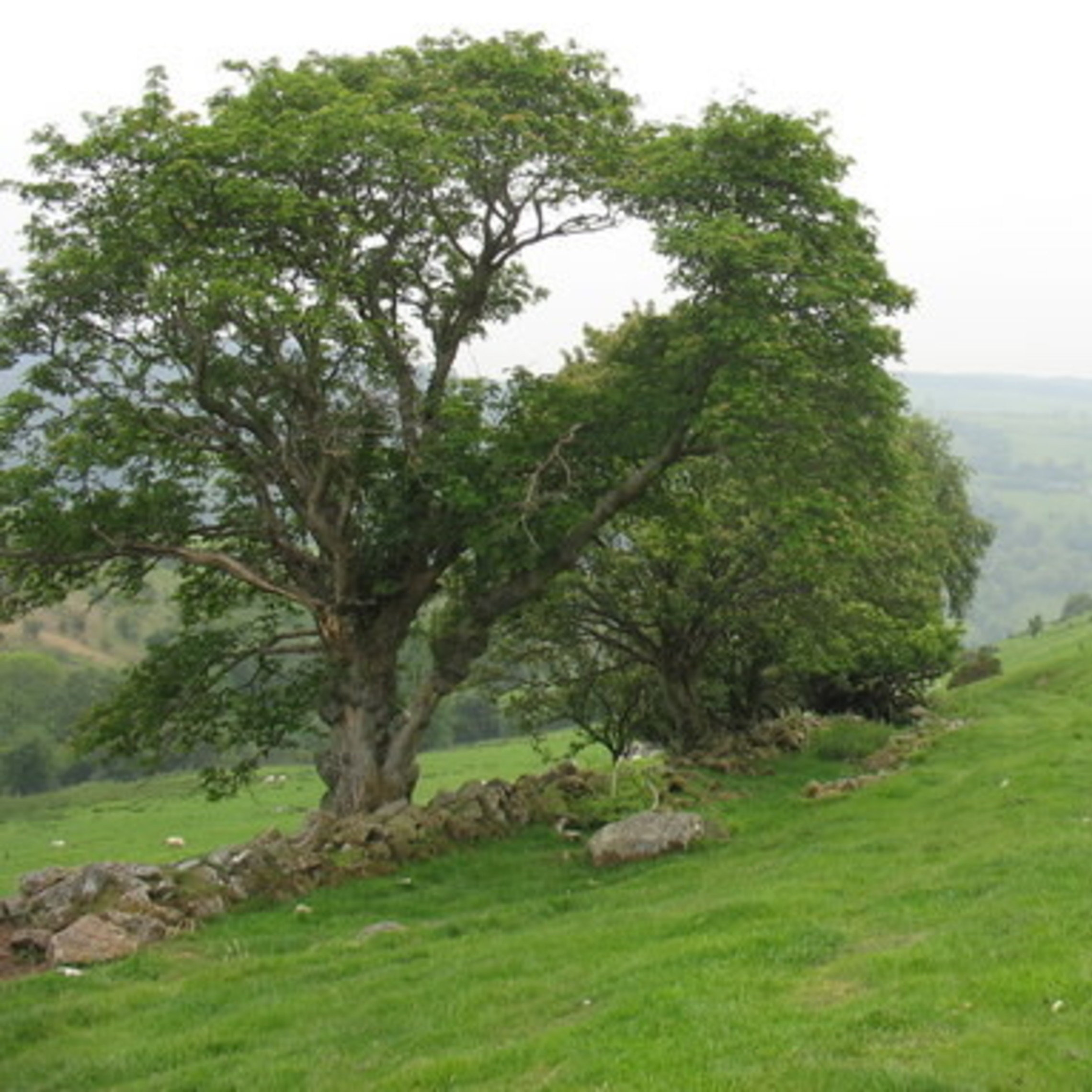 Sessile Oak Image