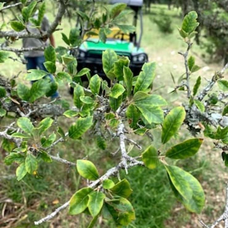 Live oak wilt image 24