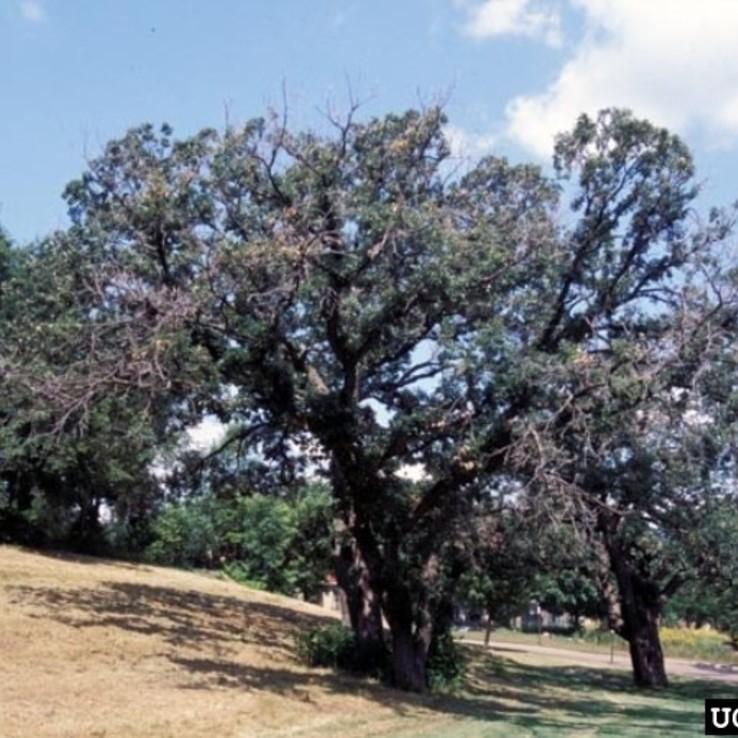 Bur Oak image
