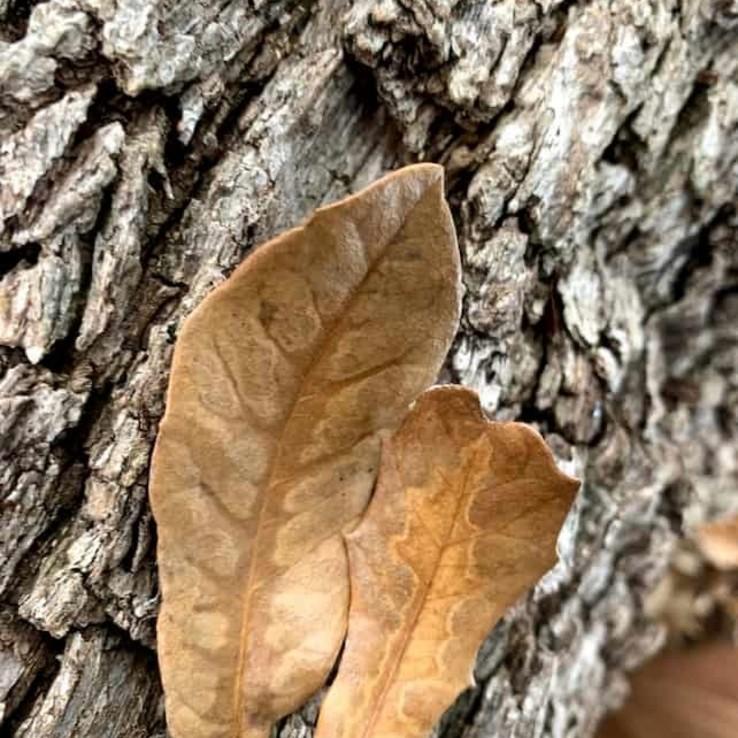 Live oak wilt image 21