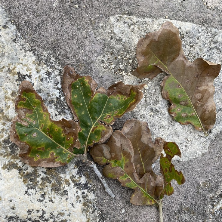 Post Oak on Stone Patio