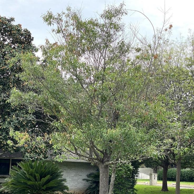 Canby Oak - Wilt Symptoms