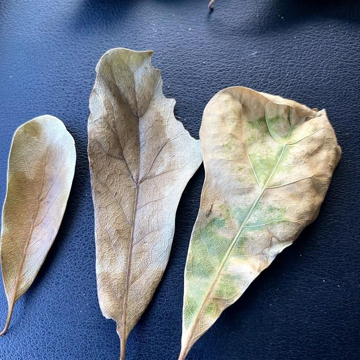 Water Oak - Oak Wilt