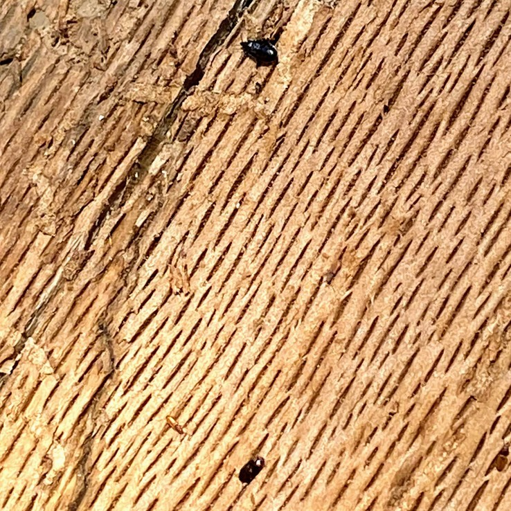 """Nitidulidae """"Picnic"""" Beetle"""