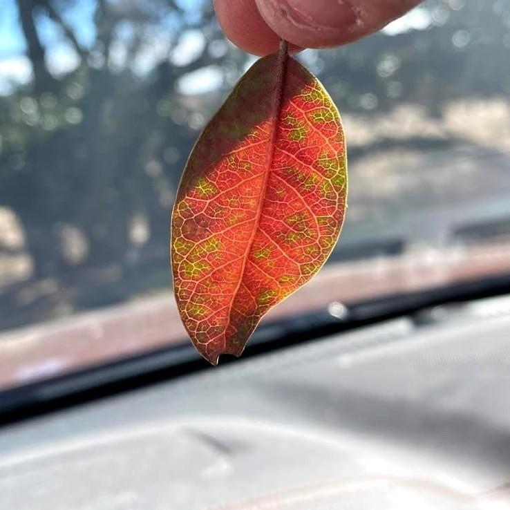 Live oak wilt image 31