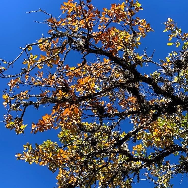Live oak wilt image 26