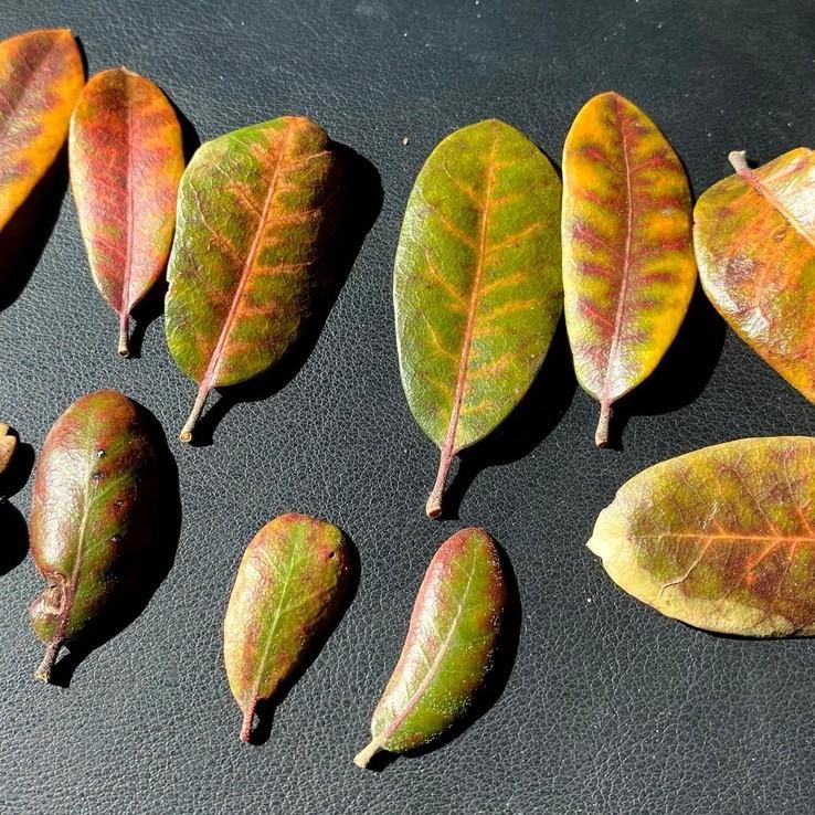 Live oak wilt image 29