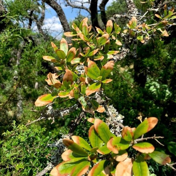 live oak with oak wilt