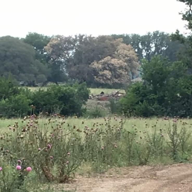live oak tree oak wilt image