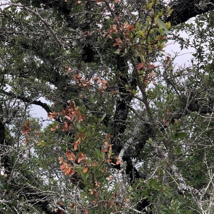 Live oak wilt image 19