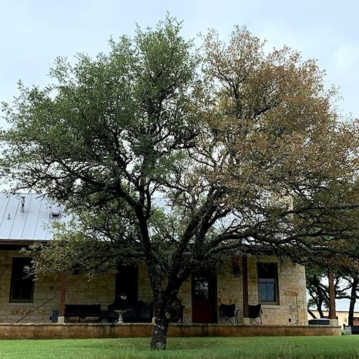 live oak tree with oak wilt