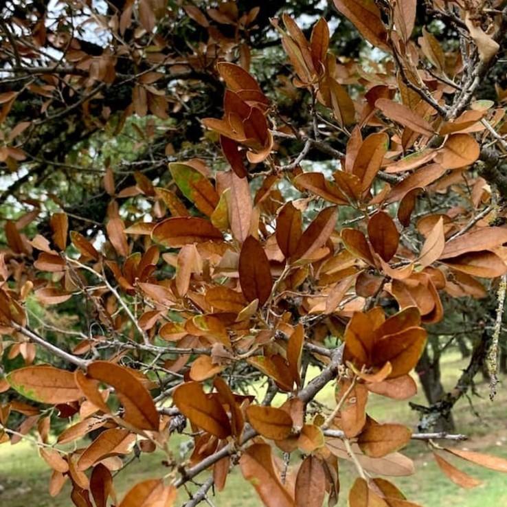 live oak wilt image