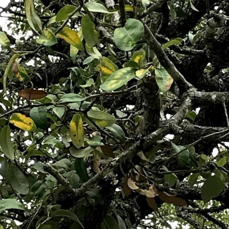 Live oak wilt image 12