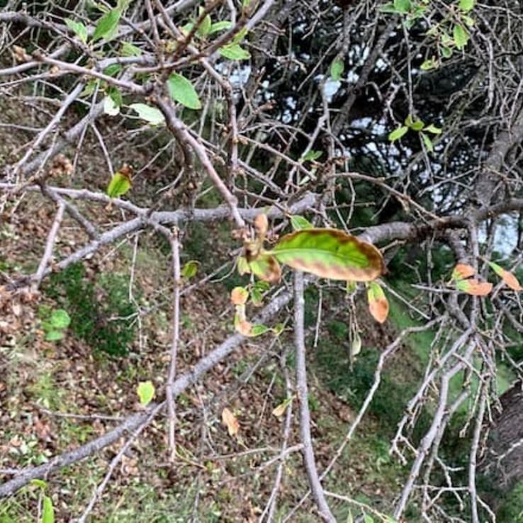 Live oak wilt image 11