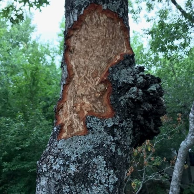 Natural Oak Wounding Pic.png