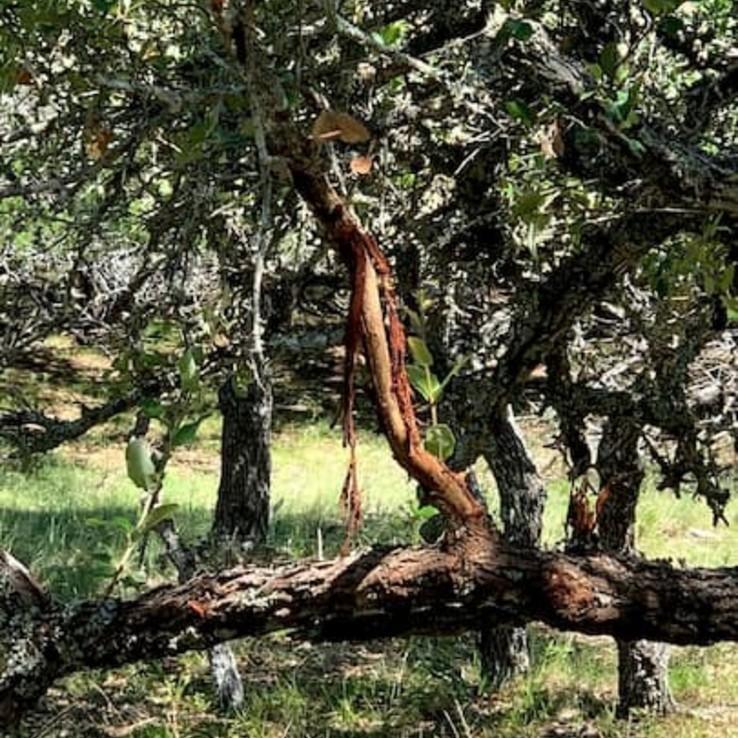 Natural Oak Wounding Pic 6