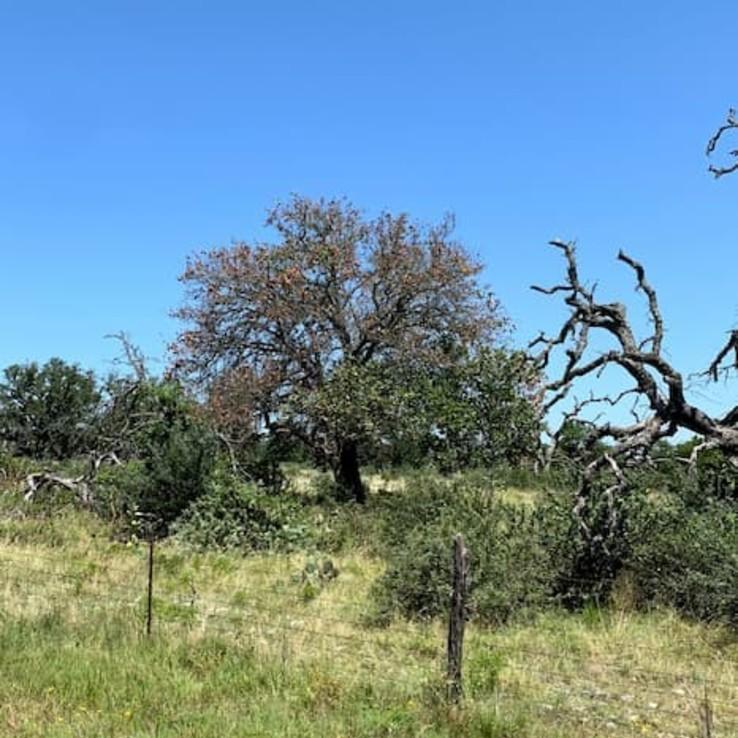 Oak Wilt Black Jack Oak