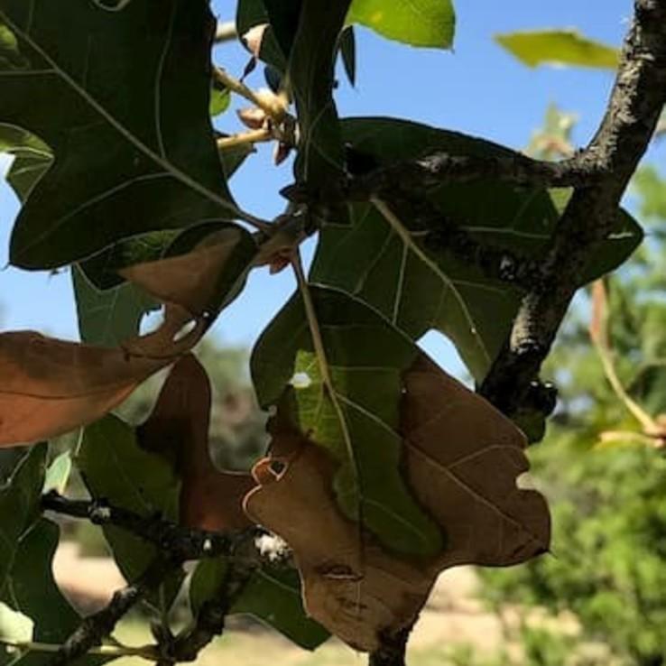 Oak Wilt Blackjack Oak