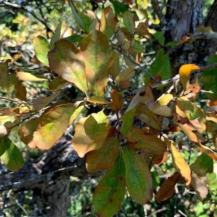 Oak Wilt Image Bigelow Oak 1