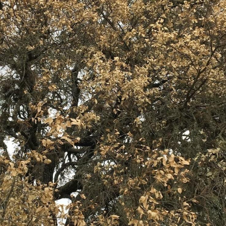 oak wilt image live oak