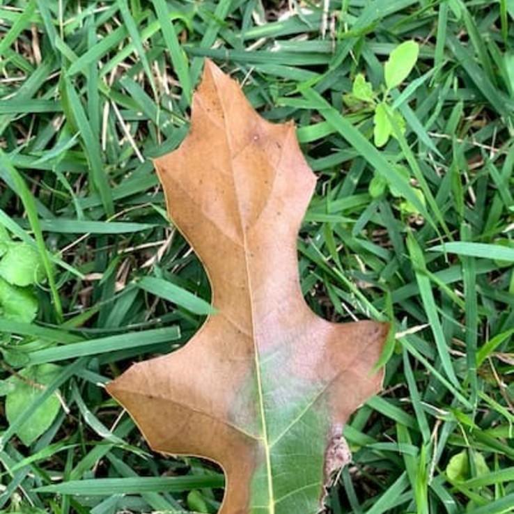 Oak Wilt Images Shumard Red Oak