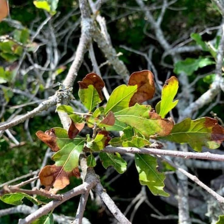 Oak Wilt Picture Bigelow Oak 1
