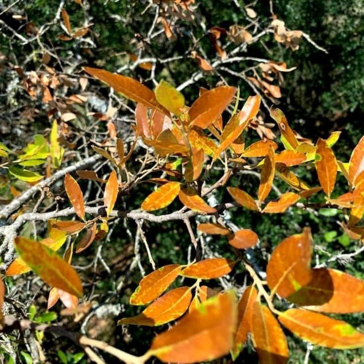 Live oak wilt image 6