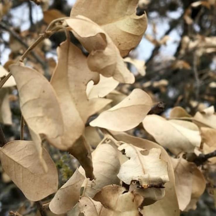 oak wilt picture live oak
