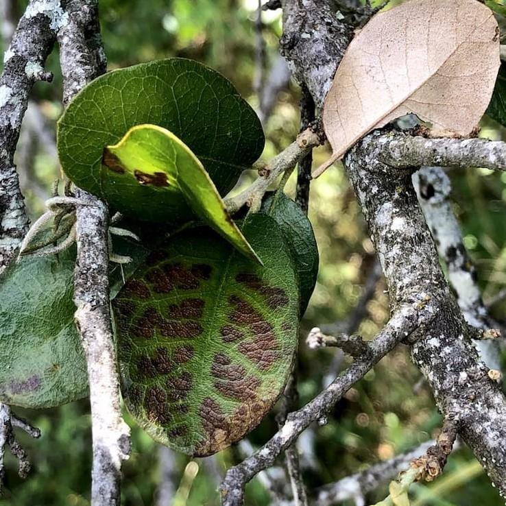 live oak with oak wilt image