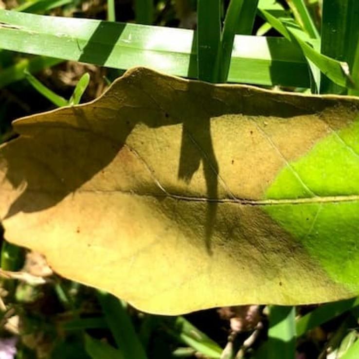 Oak Wilt Picture Mexican White Oak 2