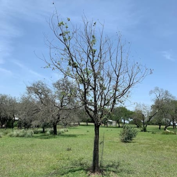 Oak Wilt Picture Mexican White Oak