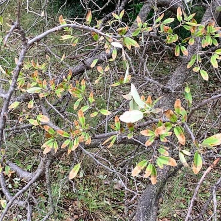 oak wilt leaves with oak wilt