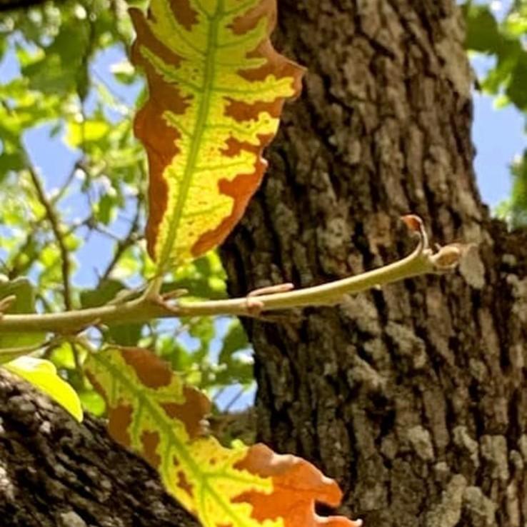 Oak Wilt Example Post Oak