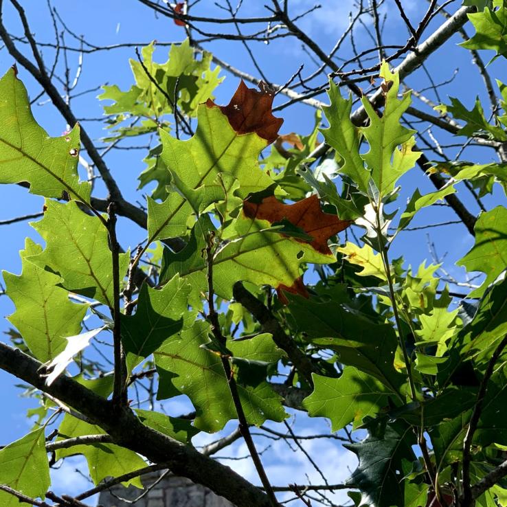 Oak Wilt Image 2