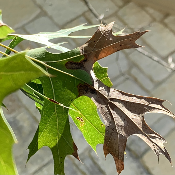 Oak Wilt Image 1