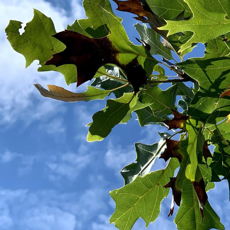 Oak Wilt Image