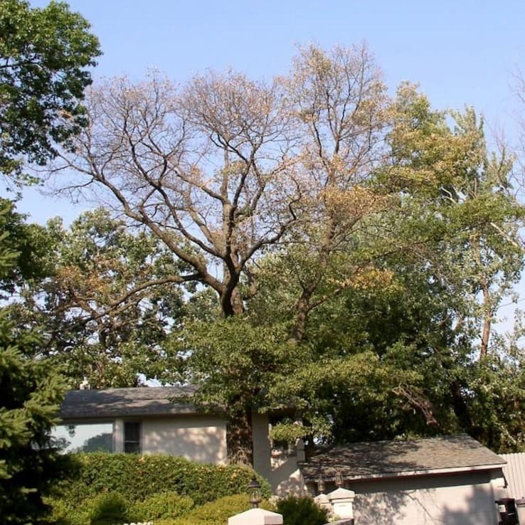 White Oak with Oak Wilt