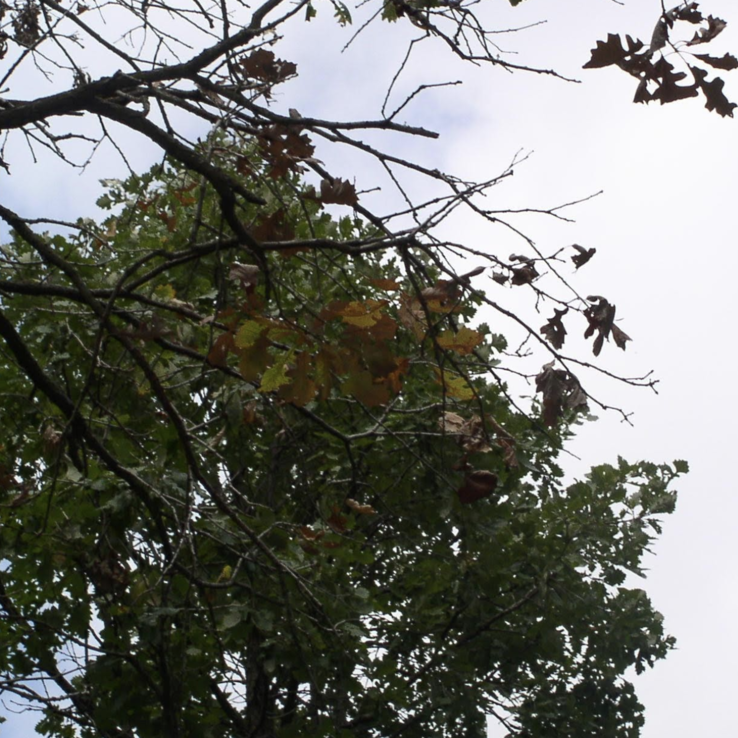 Bur Oak image 3