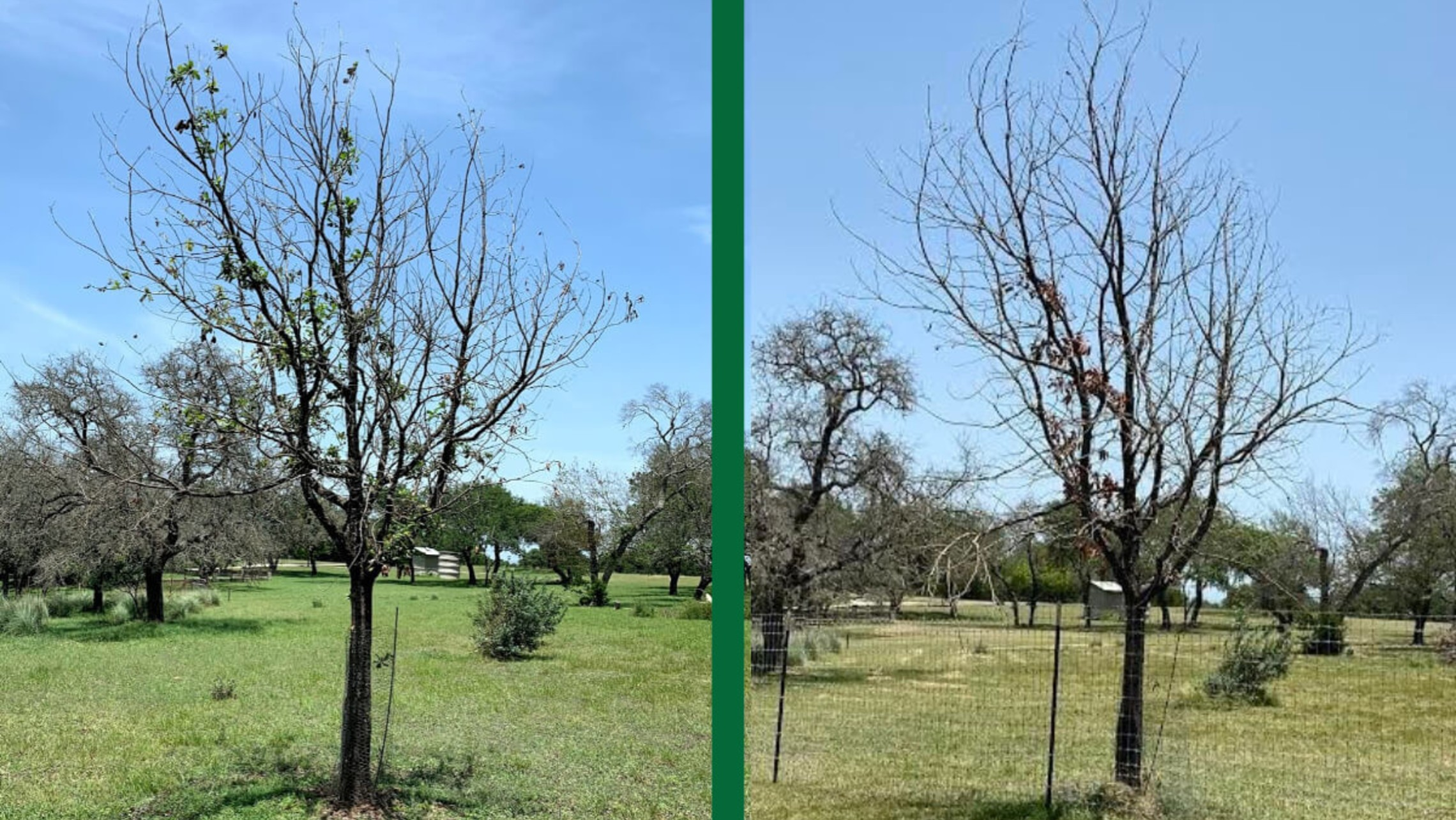 The same Mexican White Oak with Oak Wilt Side-by-Side 10 Months apart