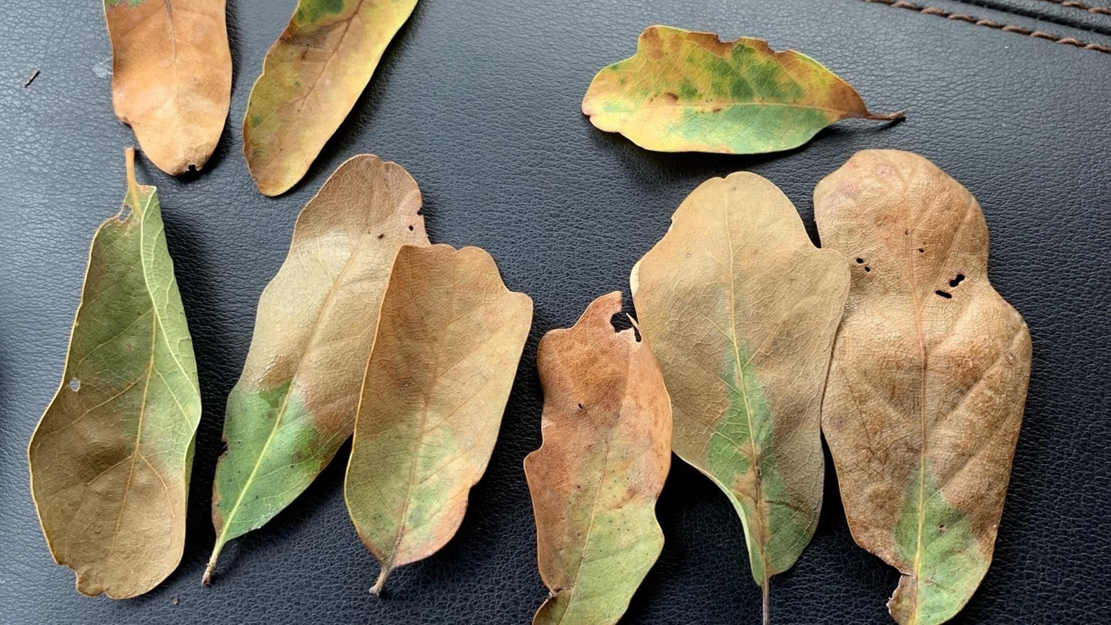 Oak Wilt Image Lacey oak
