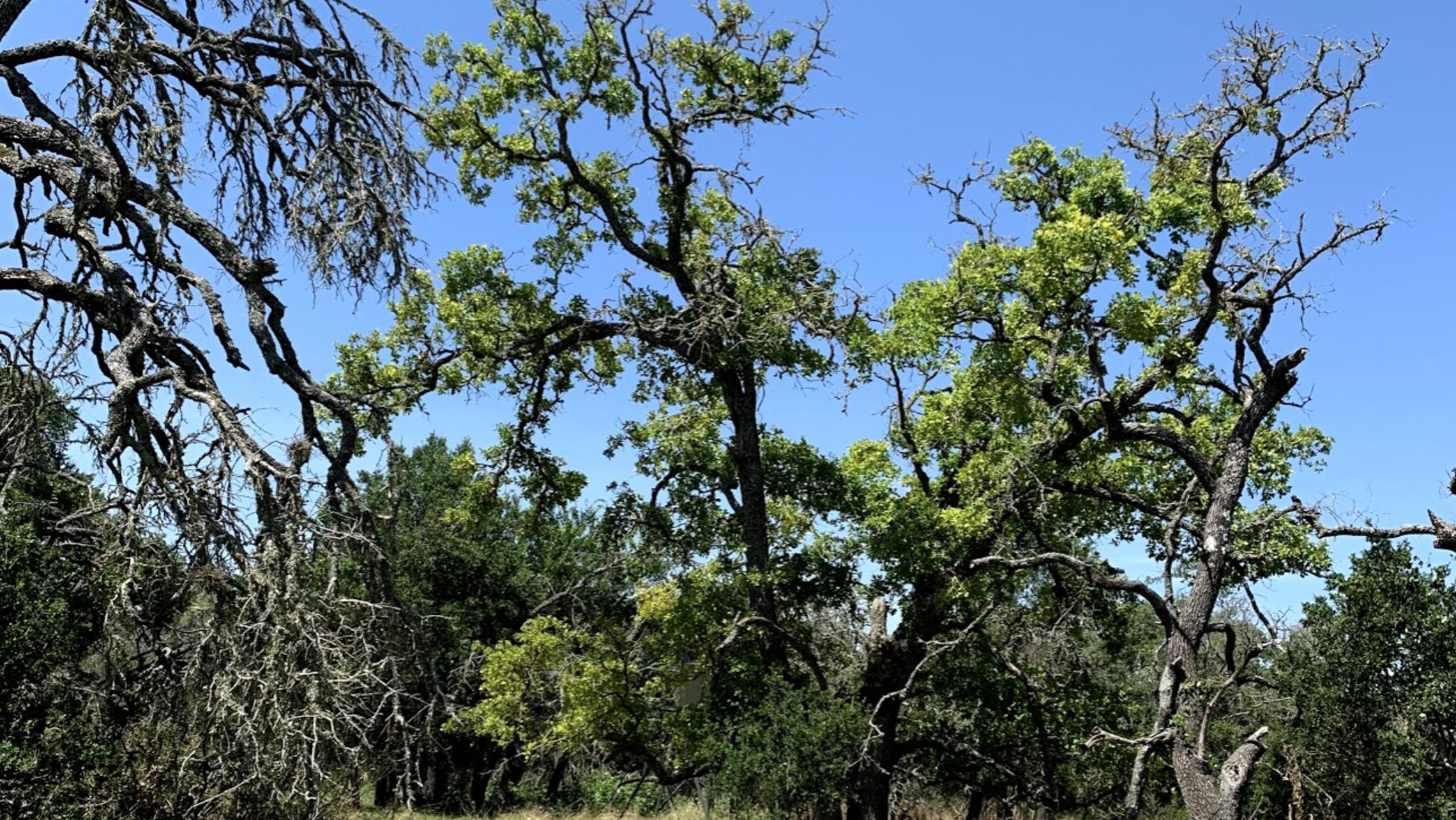Oak Wilt picture Post Oak with oak wilt